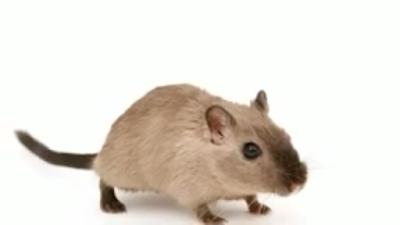 सपने में बहुत सारा चूहा देखने का क्या मतलब होता हैं?