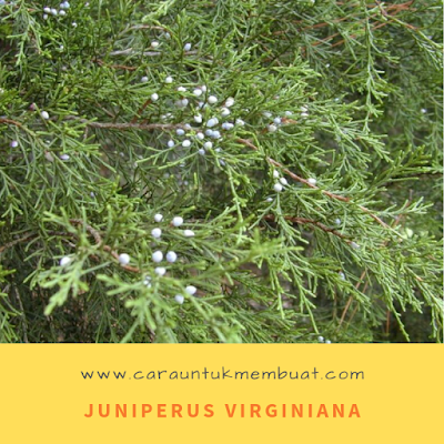 Juniperus Virginiana