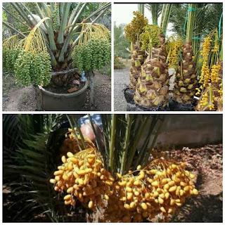 Pohon kurma yang hidup di daerah tropis