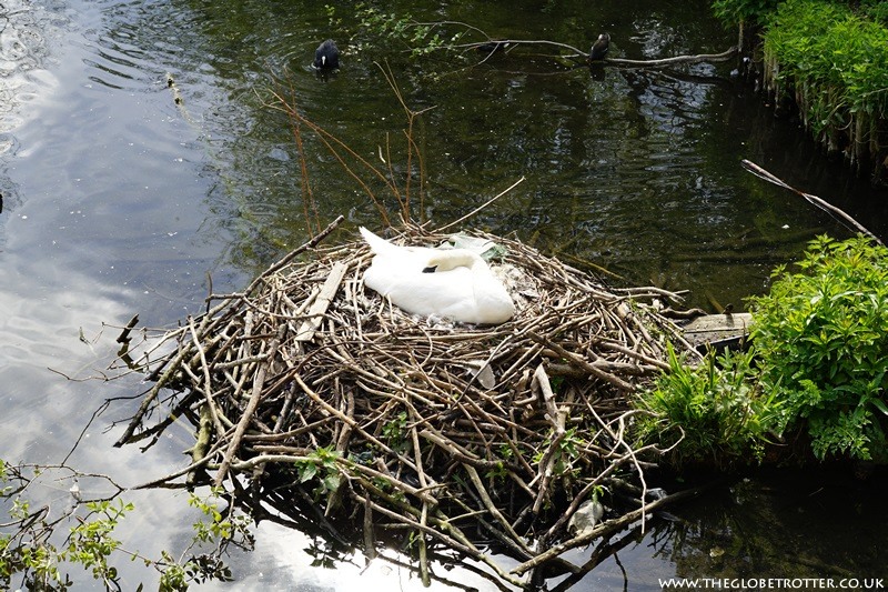 Swan nesting at the Swan and Pike Pool