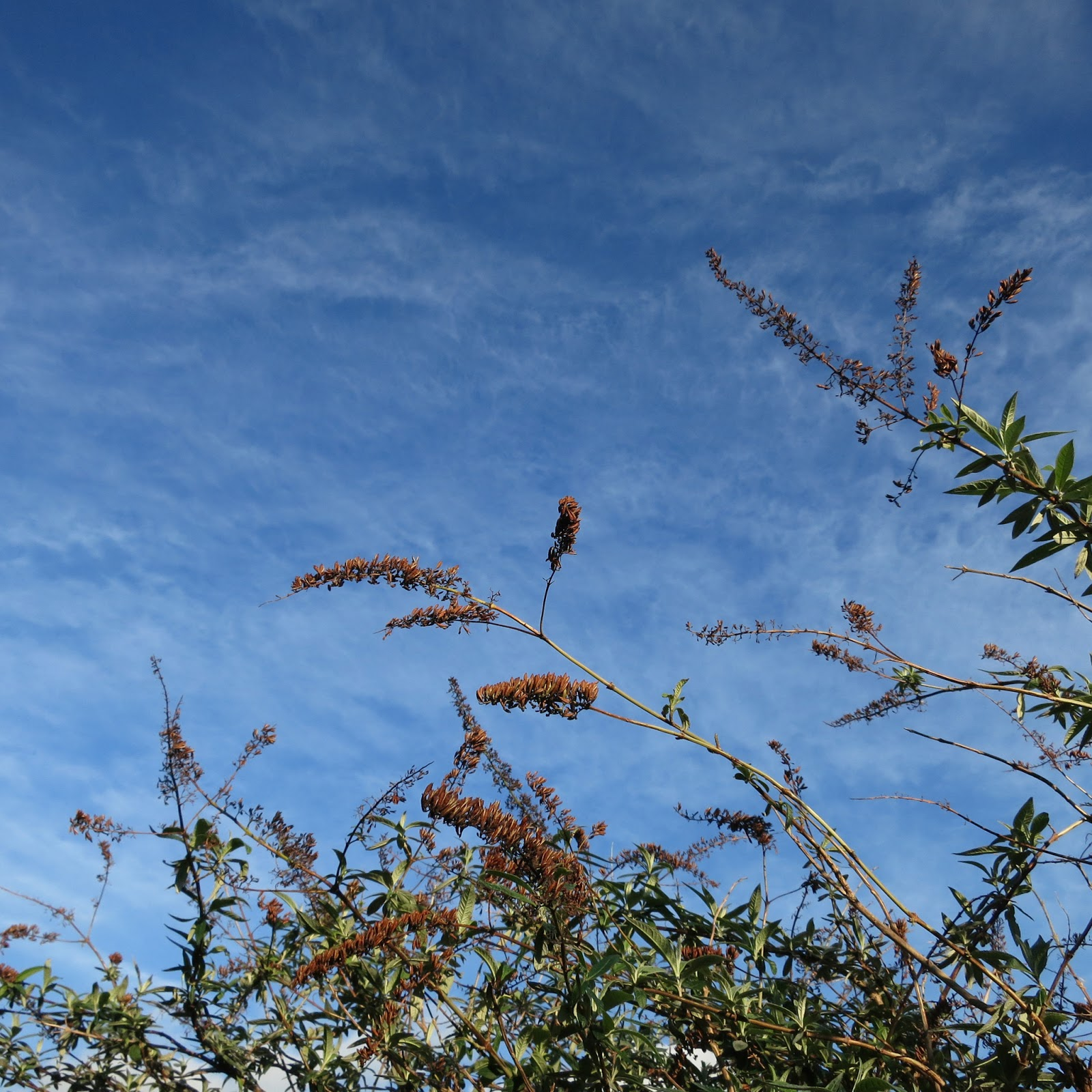 Buddleia against a flecked sky.