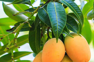 Benefits of Mangoes Fruits, seeds and leaves of mango