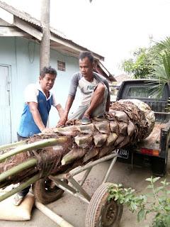 lagi promo jual pohon palem kurma gratis ongkos kirin untuk wilayan Jawabarat
