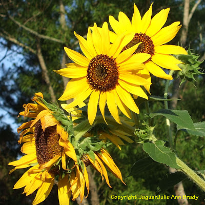 The Life and Death Cycle of Pretty Yellow Sunflower Blossoms