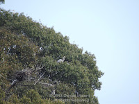 Grey heron near its nest in a heronry high in the trees - Tokushima, Japan, by Denise Motard
