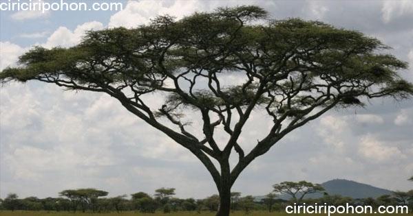 ciri ciri pohon akasia