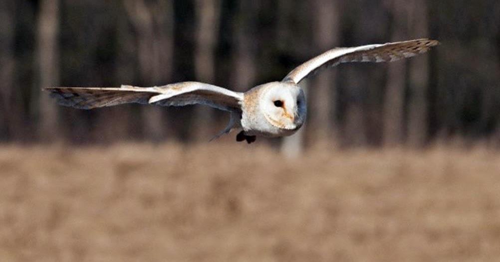 Makanan Burung Hantu Untuk Semua Spesies Lengkap