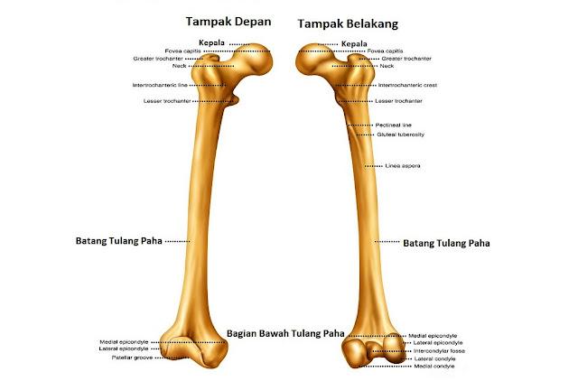 Gambar Tulang Paha (Femur)