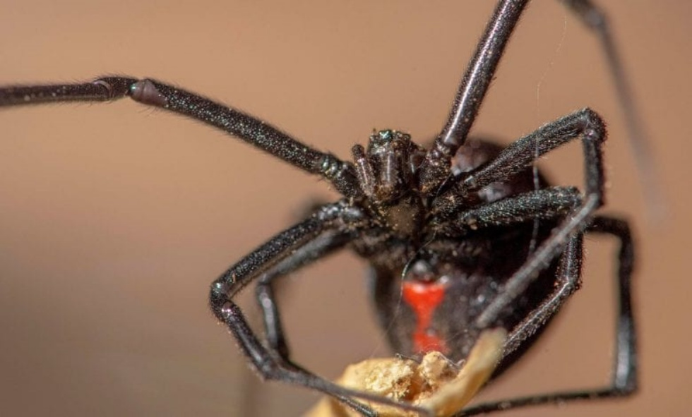 10 Most Deadliest Spiders Of All Time