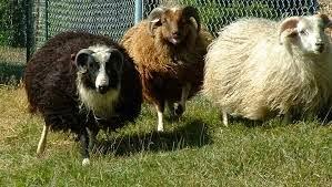 Ram atau domba jantan