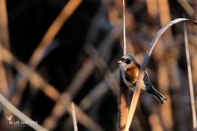 Macho de pájaro-moscón europeo - Eurasian penduline-tit (Remiz pendulinus)