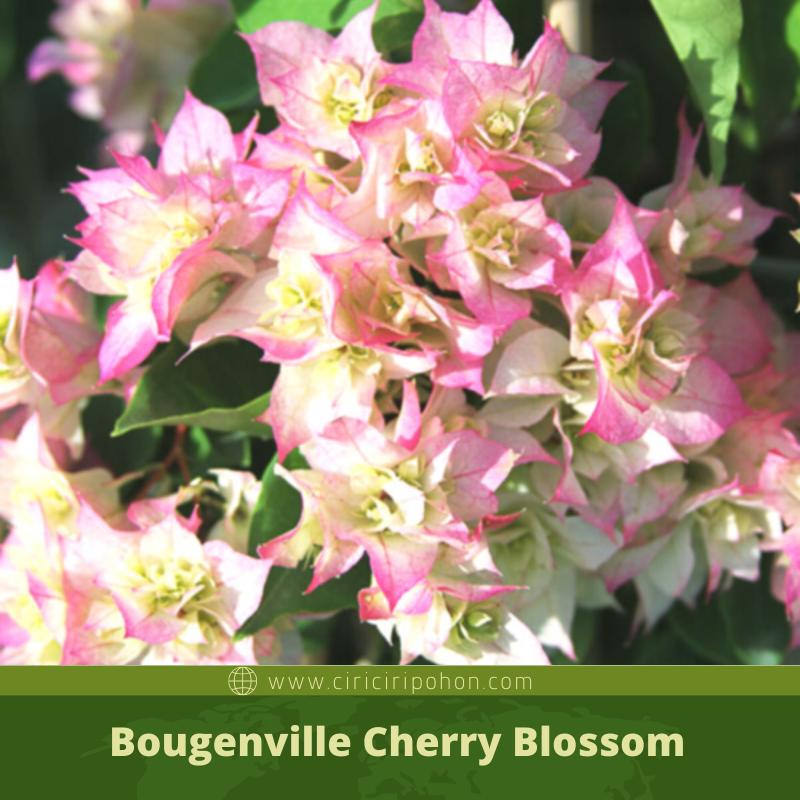 Ciri Ciri Pohon Bougenville Cherry Blossom