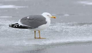 Yellow-legged Gull in Newfoundland