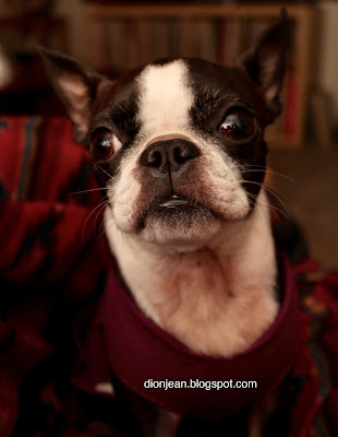 Sinead the Boston terrier in closeup