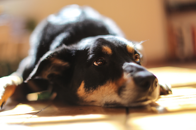 A black and brown Kelpie is lying on timber floors
