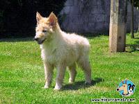 Cachorro de Can de Palleiro en el césped