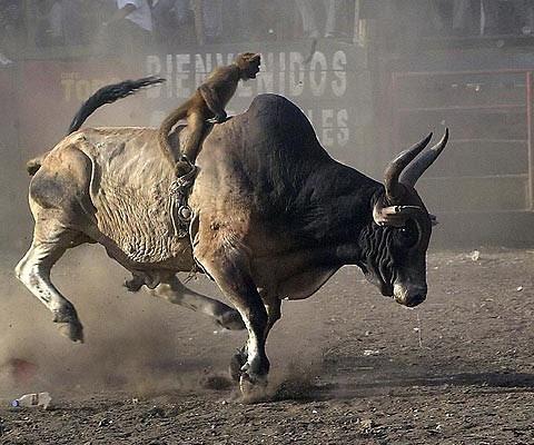 Monkey riding bull