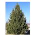 Sementes - Árvore de Natal - picea abies