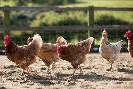 Cría de gallinas ponedoras como emprendimiento.