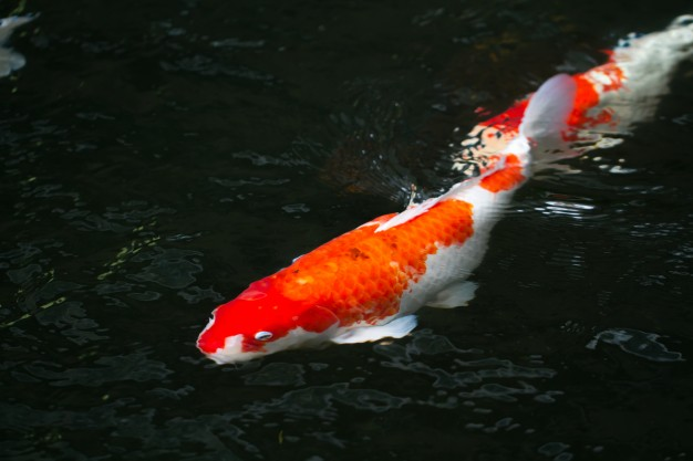 Taking Care of Your Koi Fish