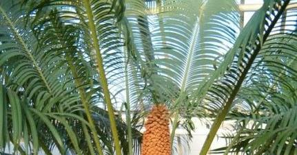 Tumbuhan Berbiji Terbuka Gymnospermae