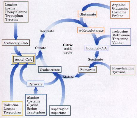 Getting to Know Your Amino Acids: Glutamate | 461 x 396 jpeg 40kB