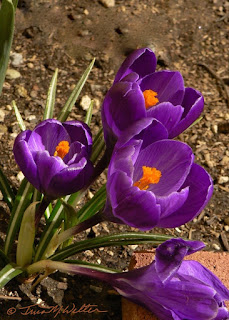 Solid purple crocus blooms, photo ©2019 Tina M.Welter