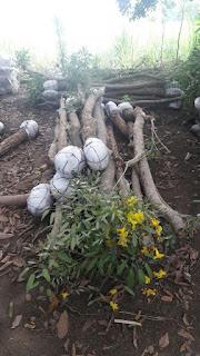 harga jual pohon tabibuya bunga kuning