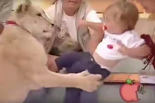 Lion pounces on baby girl on live TV