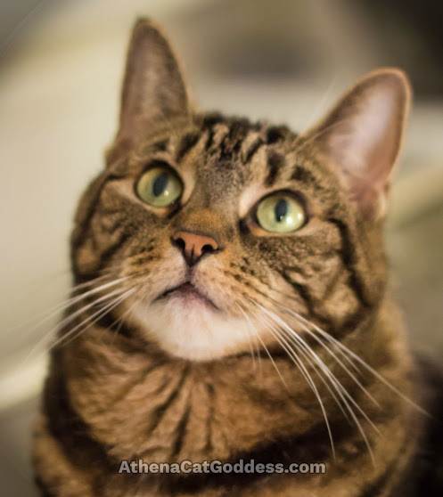 tabby cat gazing upwards