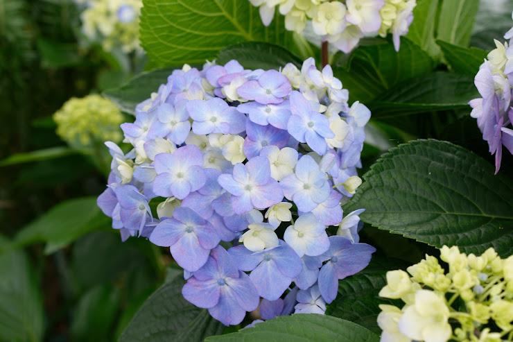 紫色の若いアジサイ