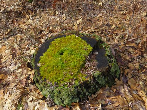 moss on a stump