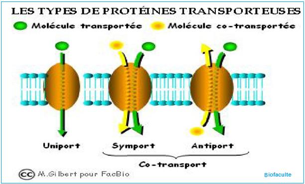 Les protéines transporteuses
