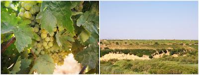 vigne bio sicilia