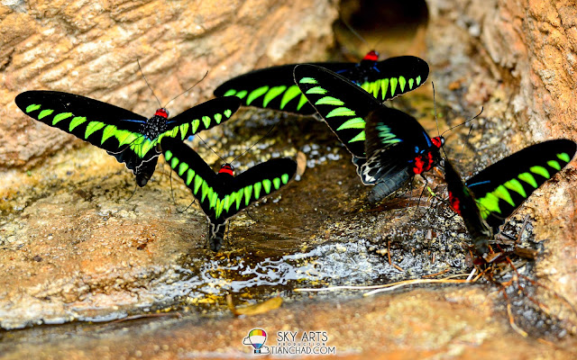 Raja Brooke Butterfly spotted at the Hotsprings in The Banjaran