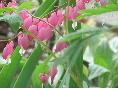 Bleeding hearts in the flower garden.  Yearly goals -Vickie's Kitchen and Garden