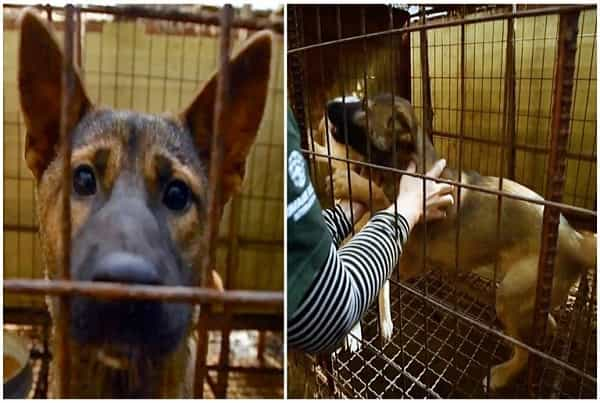 She Protruded Her Paw When Help Got Here After Spending Life At Pet Dog Meat Farm