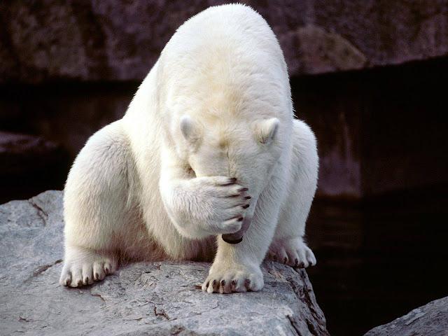 biały niedźwiedź robi facepalma