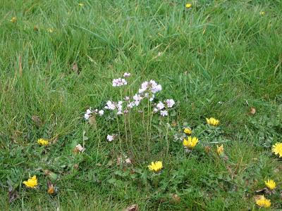 Cuckooflower (Ladies Smock) on a verge at Eastham