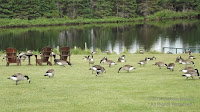 Canada geese foraging, PEI National Park, June 23, 2016 - by Denise Motard