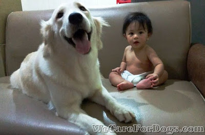 mhershey - golden retriever and baby