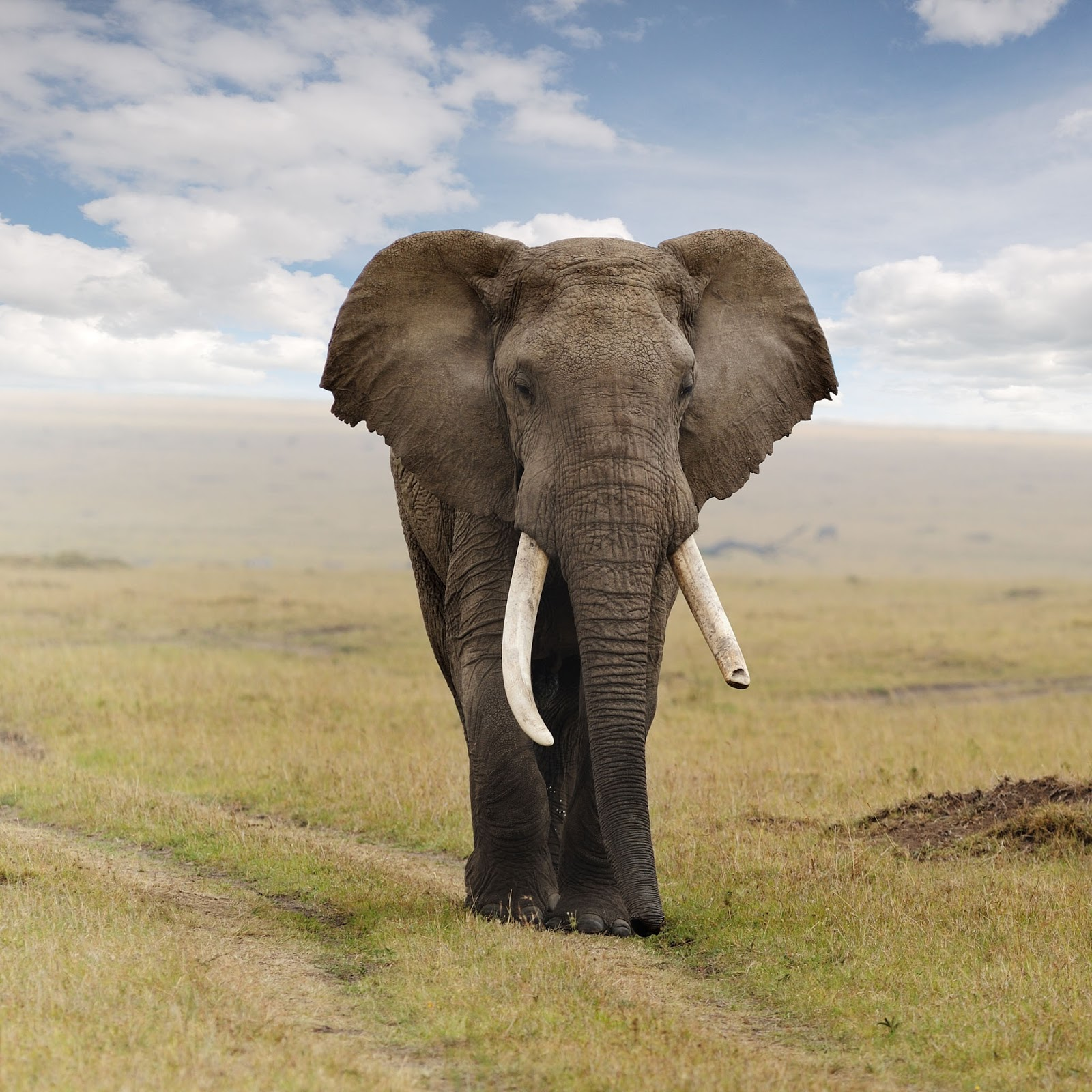 Gambar Gajah Lengkap
