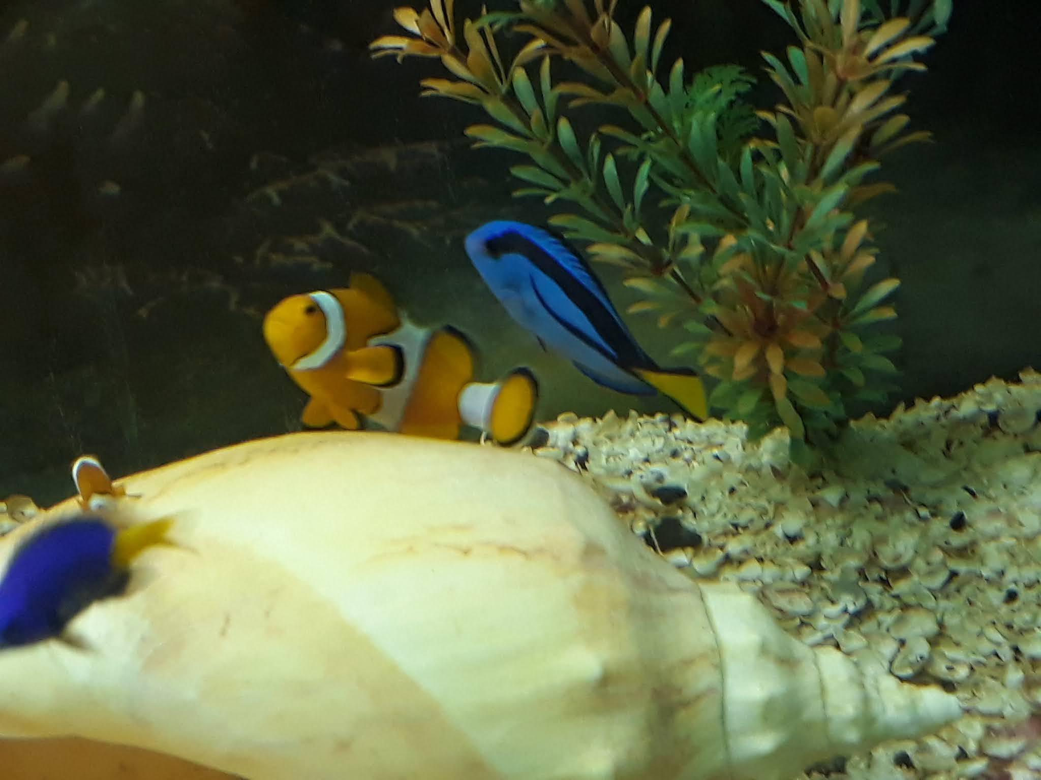 dois peixes de agua doce, um azul e outro laranja