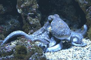 Pulpo, ejemplo de cefalópodo