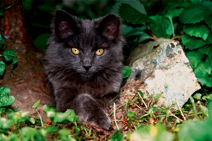grey feral cat with ear tipped sitting in bush