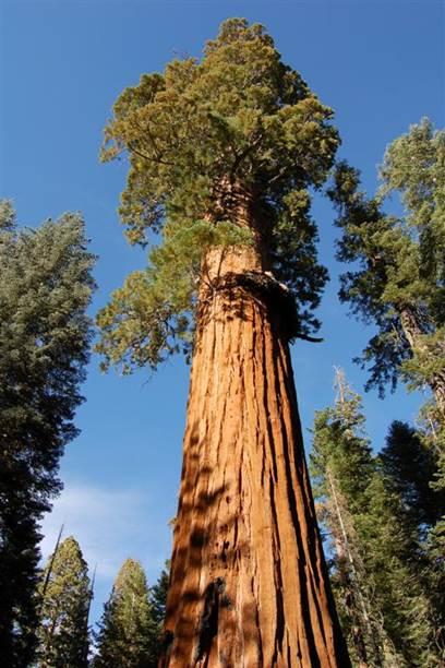 Co Horts Giant Sequoia
