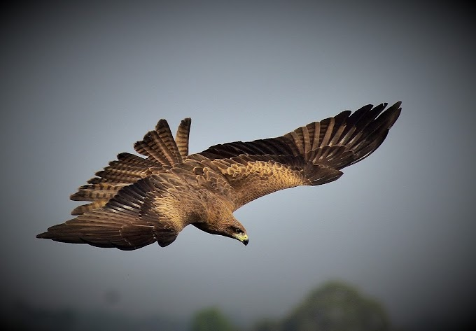 Black Kite at Mangaljodi, Odisha