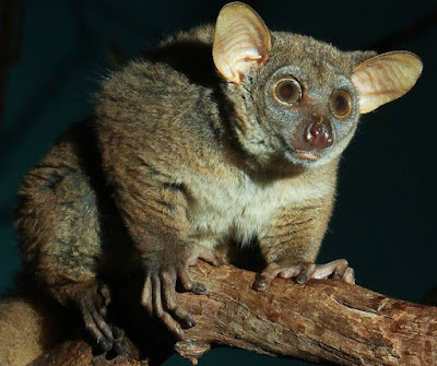 Galago - Animals Starting with G