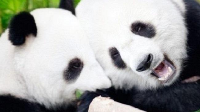 Casal de Pandas/Reprodução