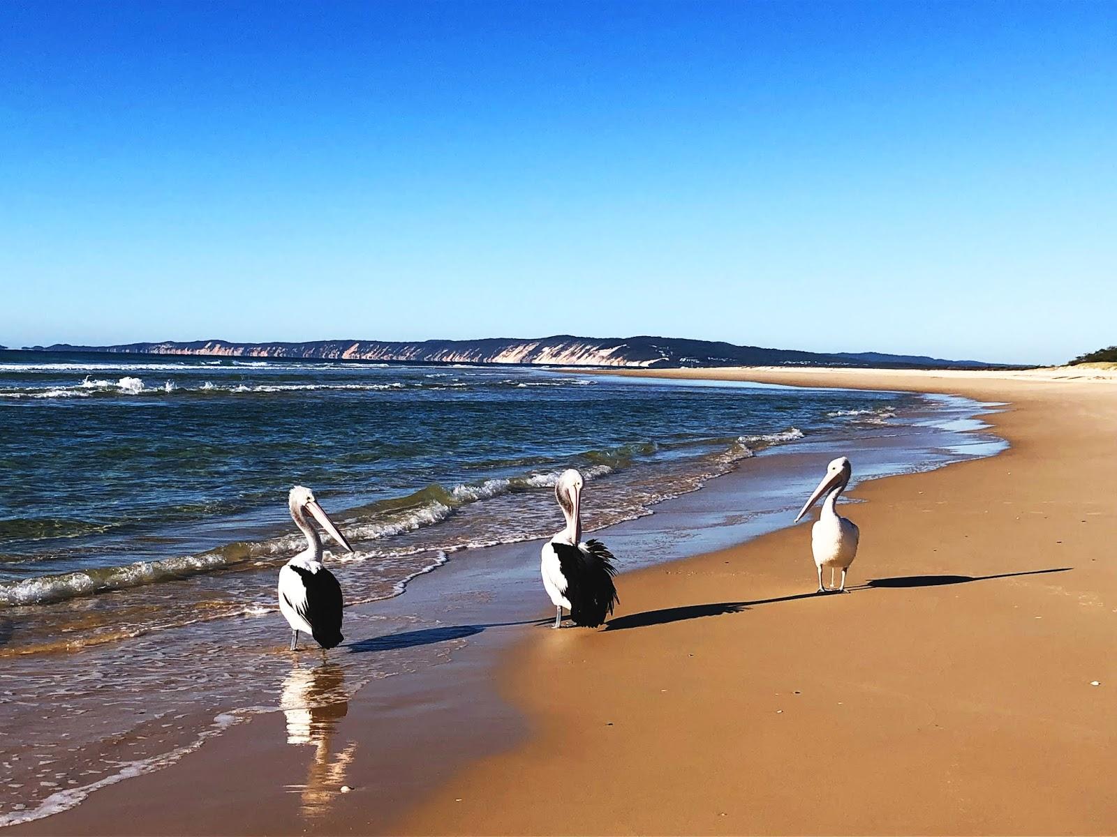 Trzy pelikany autsralijskie na Plaża Rainbow Beach w Australii